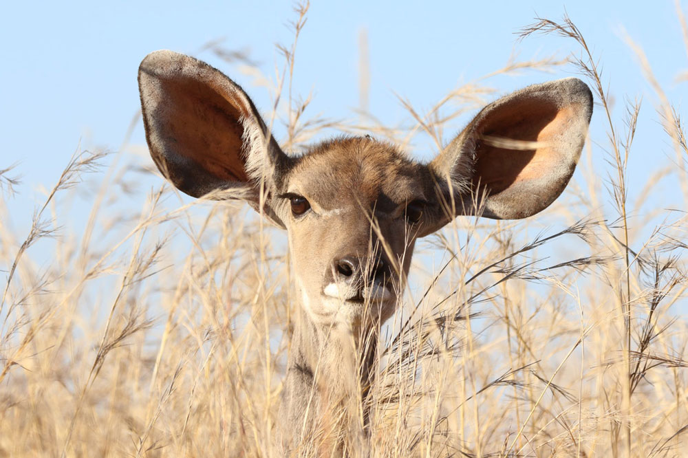 antelope with very large ears on alert